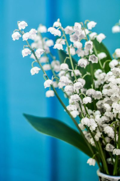 lily-of-the-valley-2456497_1920